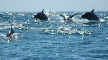 dolphins in